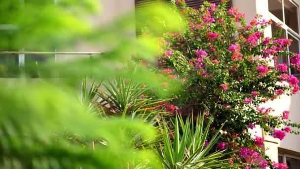 Bougainvillea-Blüten, Strauch mit schönen rosafarbenen Blüten, leuchtend saftiges Grün. Heißer Sommertag