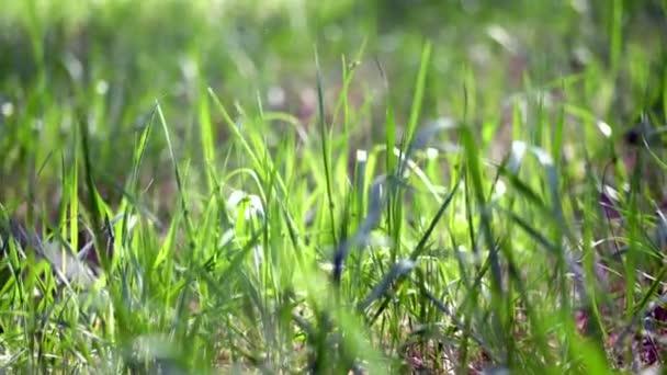 zblízka, mladá tráva, jemně zelená v barvě. v paprscích slunečního světla