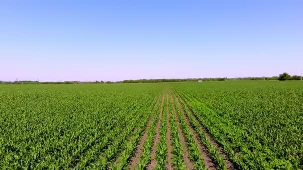 Aero, mladá zelená kukuřice, kukuřičné výhonky, výhonky, vysázené v řadách na poli proti modré obloze. Zemědělství. Ekologická farma, zemědělský podnik. pěstování kukuřice