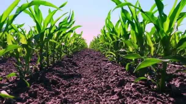 close-up, mladé zelené kukuřice, kukuřice klíčky, výhonky, zasazené v řadách v poli na pozadí půdy, země a modré oblohy. Kukuřice roste. Zemědělství. ekologická farma, zemědělský podnik.