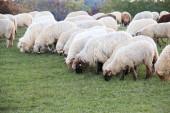 Evropa, Rumunsko, Viscri, ovce na pastvě.