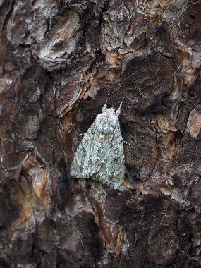 """Картина, постер, плакат, фотообои """"Мимикрия в насекомых. Бабочка клен Lancet (Стрельчатка aceris) на стволе дерева сосны."""", артикул 203090394"""