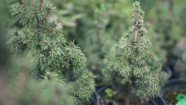 Kis karácsonyfák cserépben a gyerekszobában. Tűlevelű fa, amelyet nem kell kidobni, de el lehet ültetni a földbe. Az ünnepek tűlevelű ága