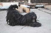 Streunender Hund lange Wolle