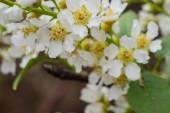 Květináč ovocných stromů na jaře