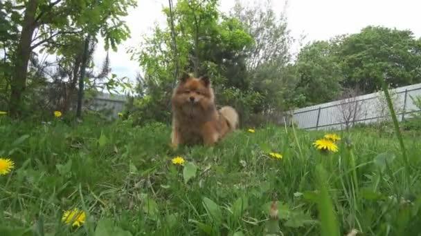 piccolo cane Spitz amichevole in primo piano di erba verde. uno Pomeranian rosso con la sua linguetta fuori