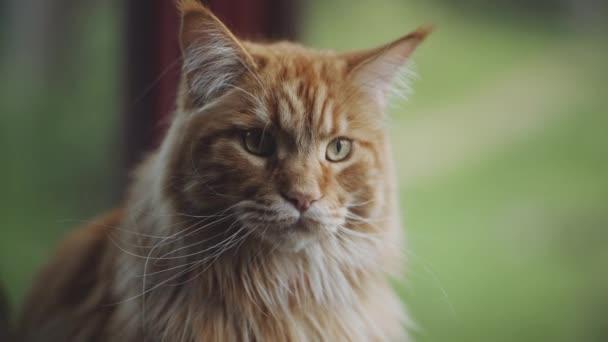 pomerančová kočka, v blízkosti okna