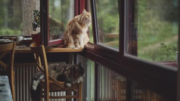 dva Maine kočky doma