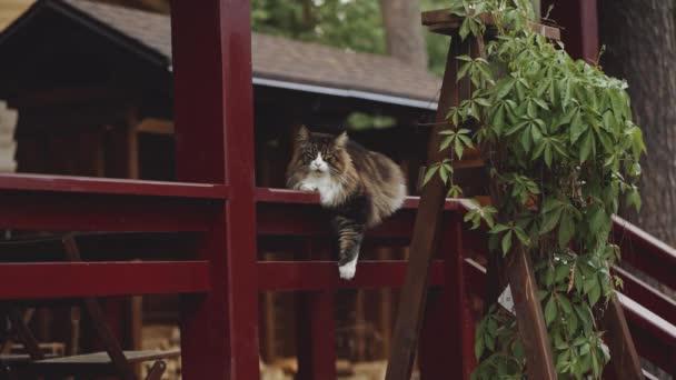 portrét mainských mývalích koček