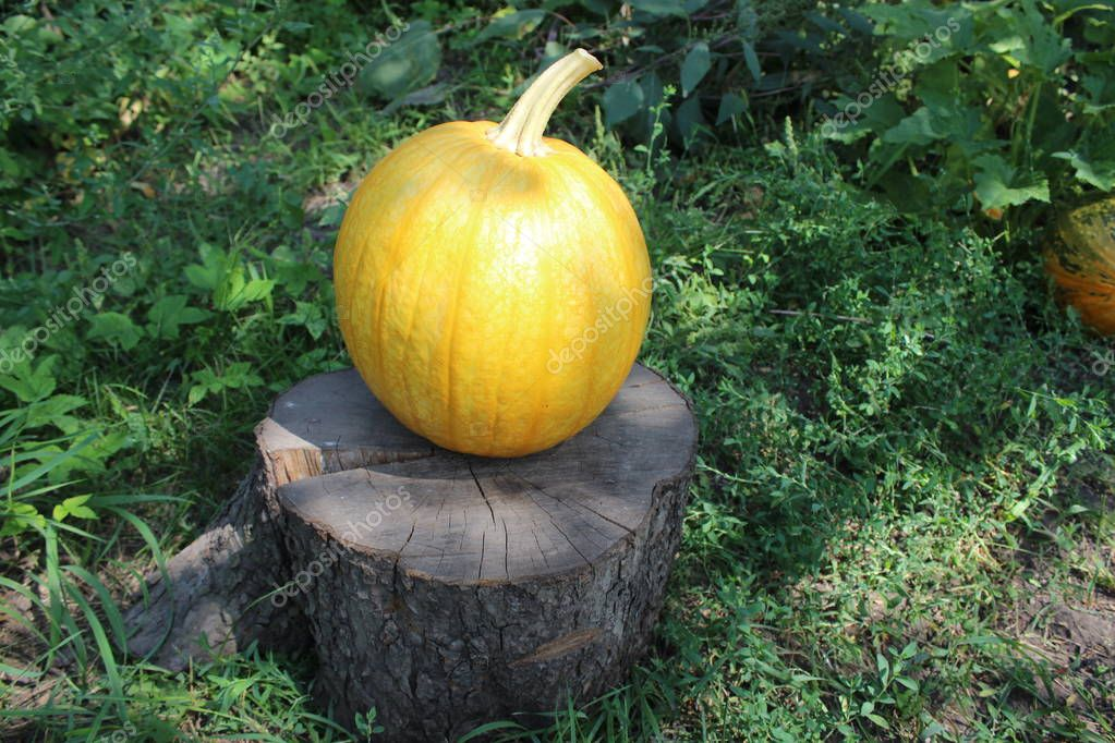 Ripe pumpkin lies on an old stump