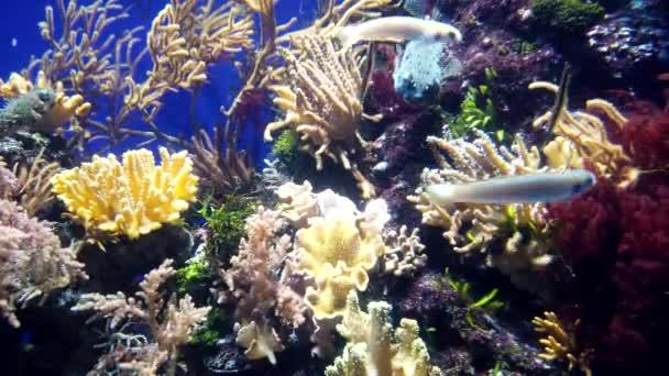 Exotic aeoliscus strigatus or razorfish and other different colorful fish.