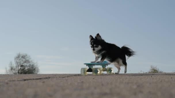 aktív kis chihuahua kisállat kutya tolás gördeszka sport mozgékonyság lovaglás aszfalt út kék felhős ég háttér másolási hely