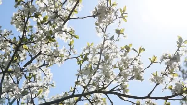 beautiful cherry blossoms on a sunny day in spring