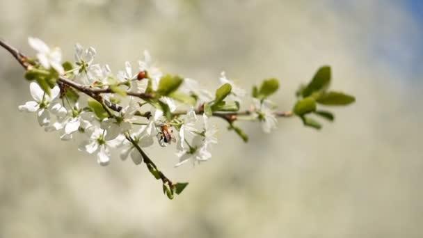 včela za slunečného dne na jaře opyluje třešňovou květinou