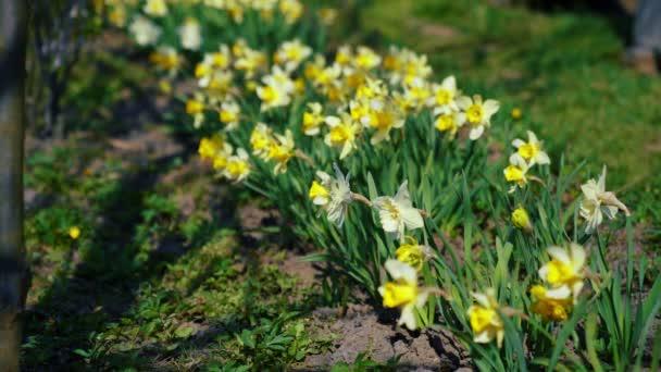 Narcis květiny kvetoucí v zahradě.