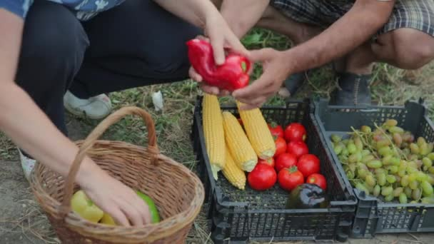 A family of farmers work in their garden, grow organic and natural vegetables, fruits and berries, harvest their seasonal harvest of tomatoes, corn, Bulgarian pepper, carrots, greens, grapes, and lay
