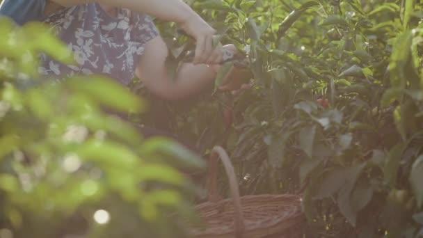 Egy zár-megjelöl egy nő ül a bolgár paprika a bokrok között, és a secateur csökkenti az érett gyümölcs, megvizsgálja őket a kezét, és eltávolítja azokat a talajon álló unokatestvére. Zsuzsu a hóban