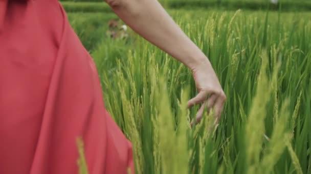 eine Nahaufnahme der Hand der Mädchen berührt und streichelt die zarten Stacheln auf dem Feld, das Modell berührt den wachsenden grünen Reis, genießt die Natur, bewundert die Schönheit des grünen Feldes, Zeitlupe