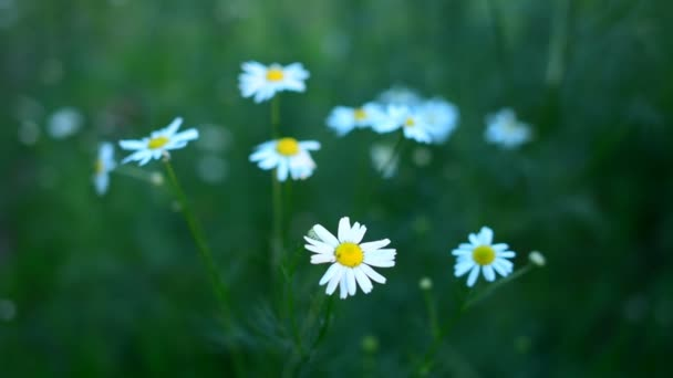 Beautiful chamomile flowers sway in the wind. Nature of summer, flower fields, wild flower meadow, botany and biology, video for the background, videofootage nature, beautiful daisies.