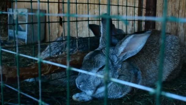 Kaninchen im Käfig Essen Grass. Kaninchen zur Zucht bestimmt. Sie leben auf dem Lande.