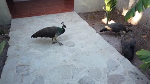 Peacock mutatja a farkát. Gyönyörű madár az udvaron.