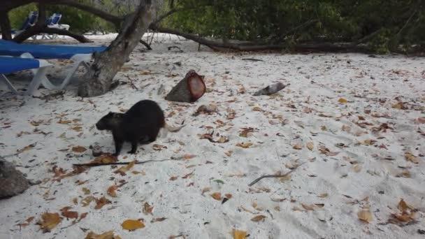 Big rat Desmarests hutia (Capromys pilorides) Cuban Landscape In Cayo Largo, Cuba. Cuban hutia on the beach