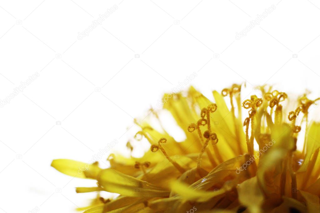 Dandelion Taraxacum Officinale Isolated. Yellow flower so close, macro