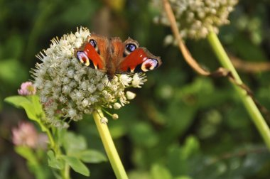 Beautiful butterfly in the wild, close-up