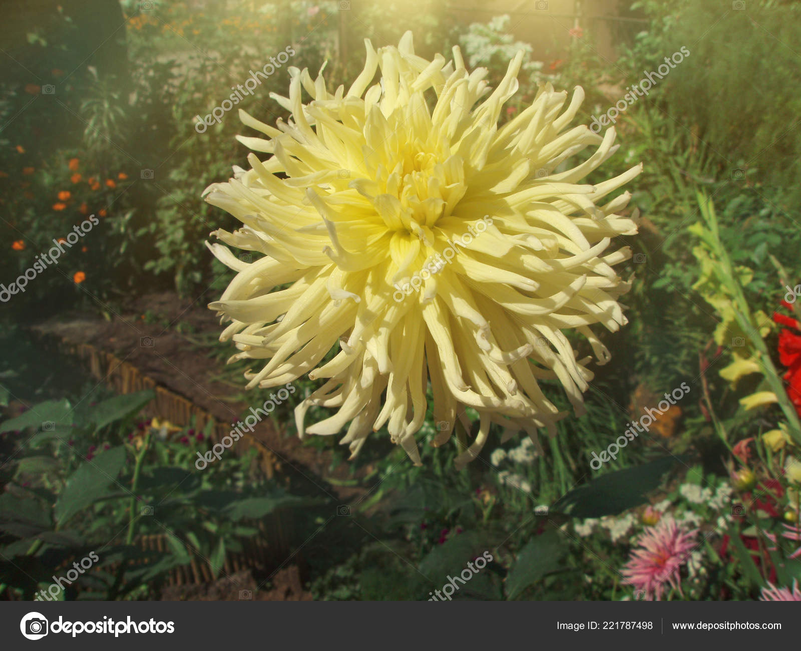 Dahlia Flower Yellow Happiness Tuberous Rooted Perennial Dahlia