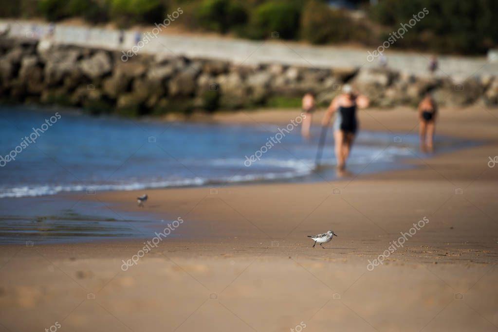 Sanderling bird, a type of sandpiper wet beach sand