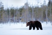 Brown bear walking around lake with snow and ice, Finland.