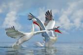 Pelicans with opened wings in Lake Kerkini, Greece.