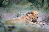 Fotografie Portrét dvojice afrických lvů, Panthera leo, Chobe národního parku, Botswana, Afrika