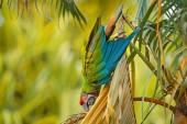Green parrot Great-Green Macaw, Ara ambigua on palm tree, Costa Rica.