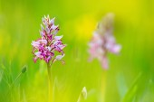 Fotografie Orchis militaris, military orchid, flowering European terrestrial wild orchid in nature habitat, detail of bloom, green clear background, Czech Republic.