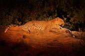 African Leopard, Panthera pardus shortidgei, Hwange National Park, Zimbabwe.