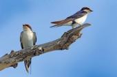 Fotografie Drát kvadrát vlaštovky, Hirundo smithii, dva ptáci na stromě větve, Botswana, Afrika