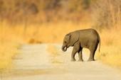 Slon africký mladí ztratili na štěrkové cestě, Chobe, Botswana.