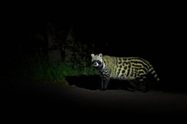 African Civet, Civettictis Civetta, Moremi Game Reserve, Botswana, Africa.