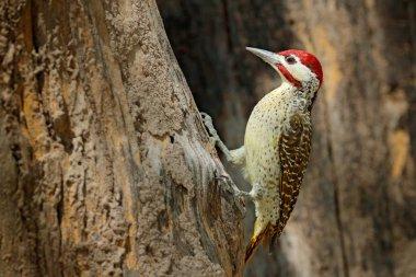 Speckle-throated woodpecker, Campethera scriptoricauda, on trunk, Botswana.