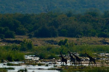 Giraffes drinking water from river, South Africa.