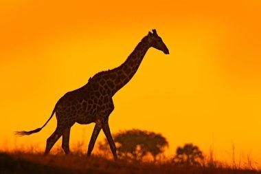 Idyllic giraffe silhouette with evening orange sunset light, Botswana, Africa.
