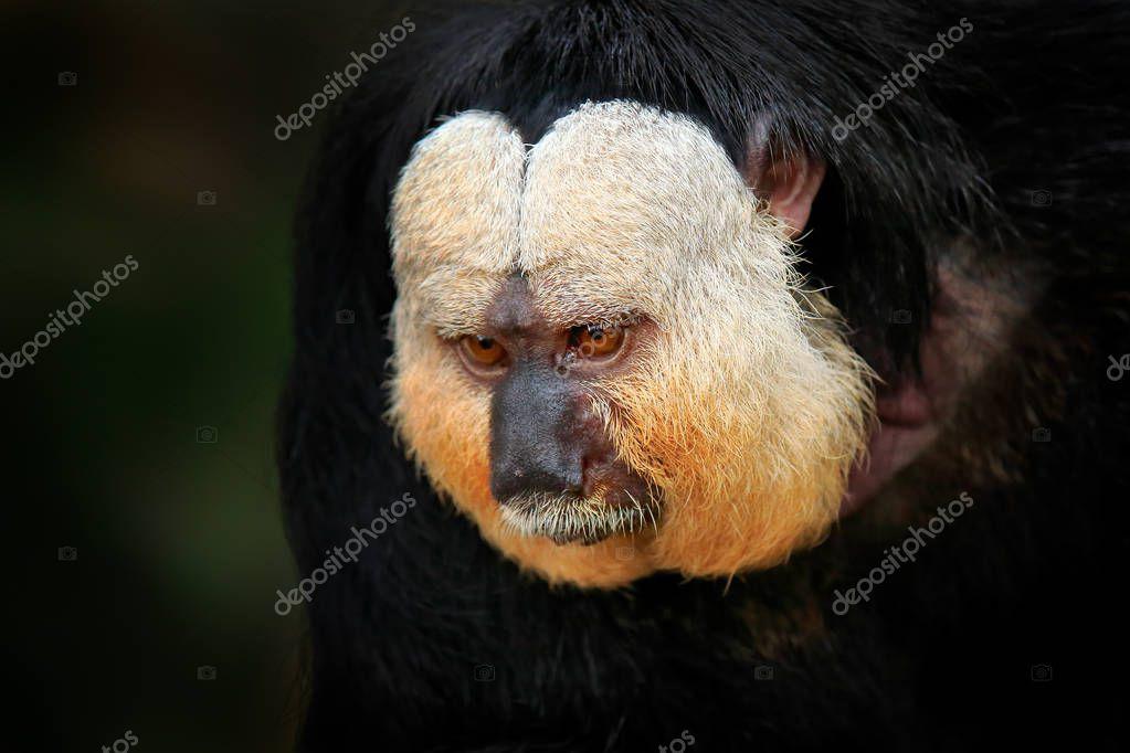 White-faced Saki, Pithecia pithecia, detail portrait of dark black monkey with white face, Brazil.