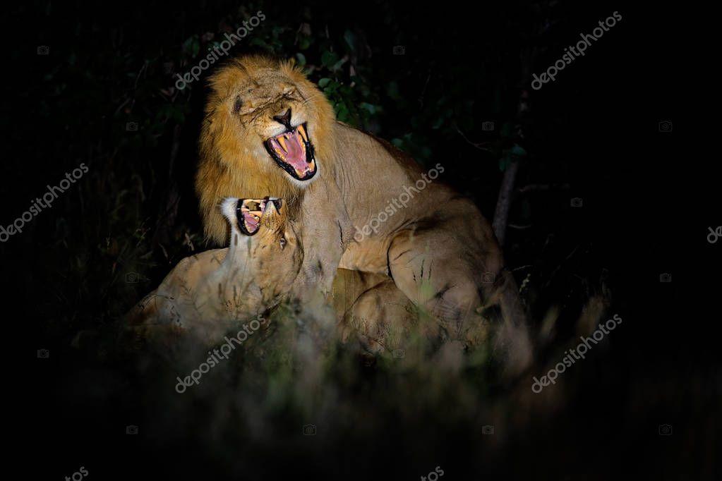 Lions, Panthera leo bleyenberghi, mating action scene in Kruger National Park, Africa.