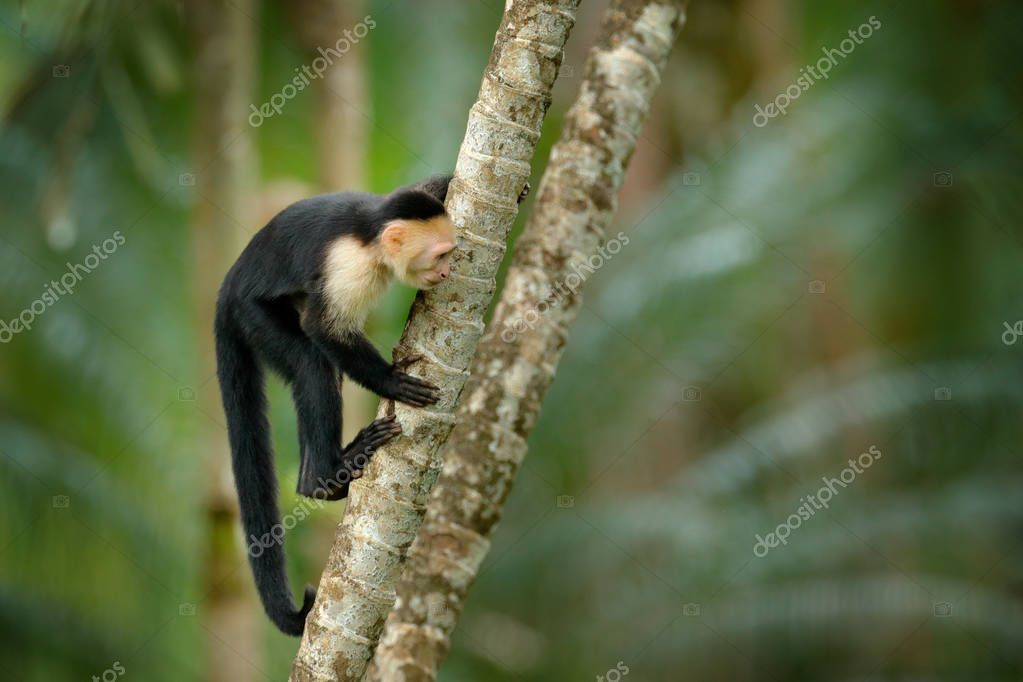 White-headed Capuchin, black monkey on tree branch in tropical forest, Costa Rica.