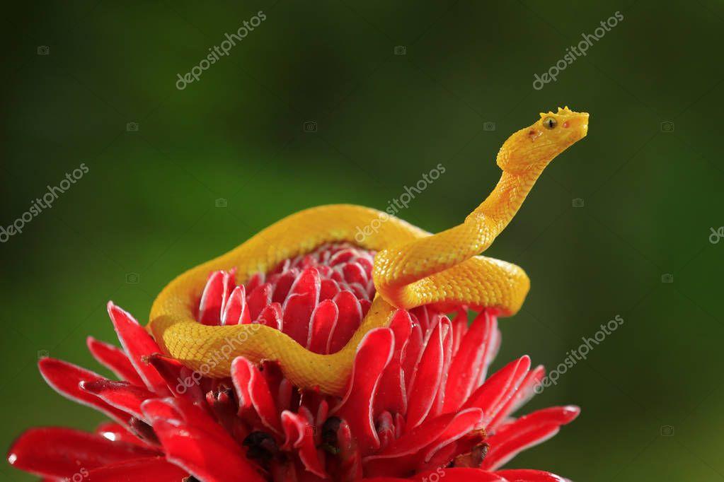 Poison dangerous viper snake from Costa Rica.