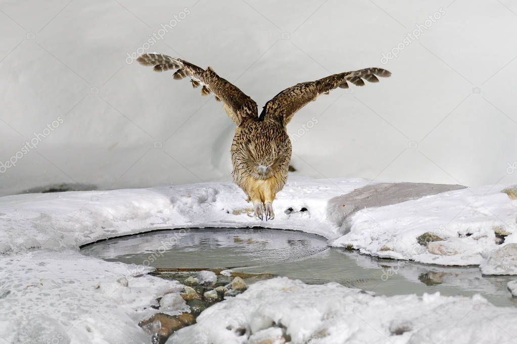 Blakistons fish owl, catching fish in bill, largest living species of owl, Hokkaido, Japan.