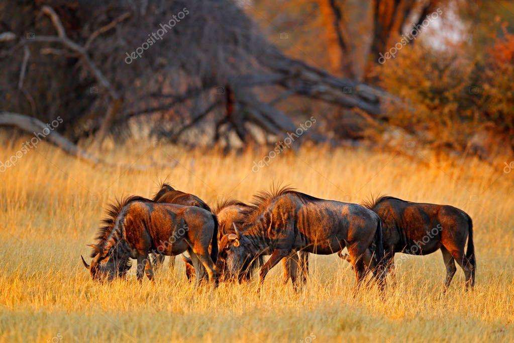 Blue wildebeest, Connochaetes taurinus, in meadow, big animals in nature habitat, Botswana, Africa.
