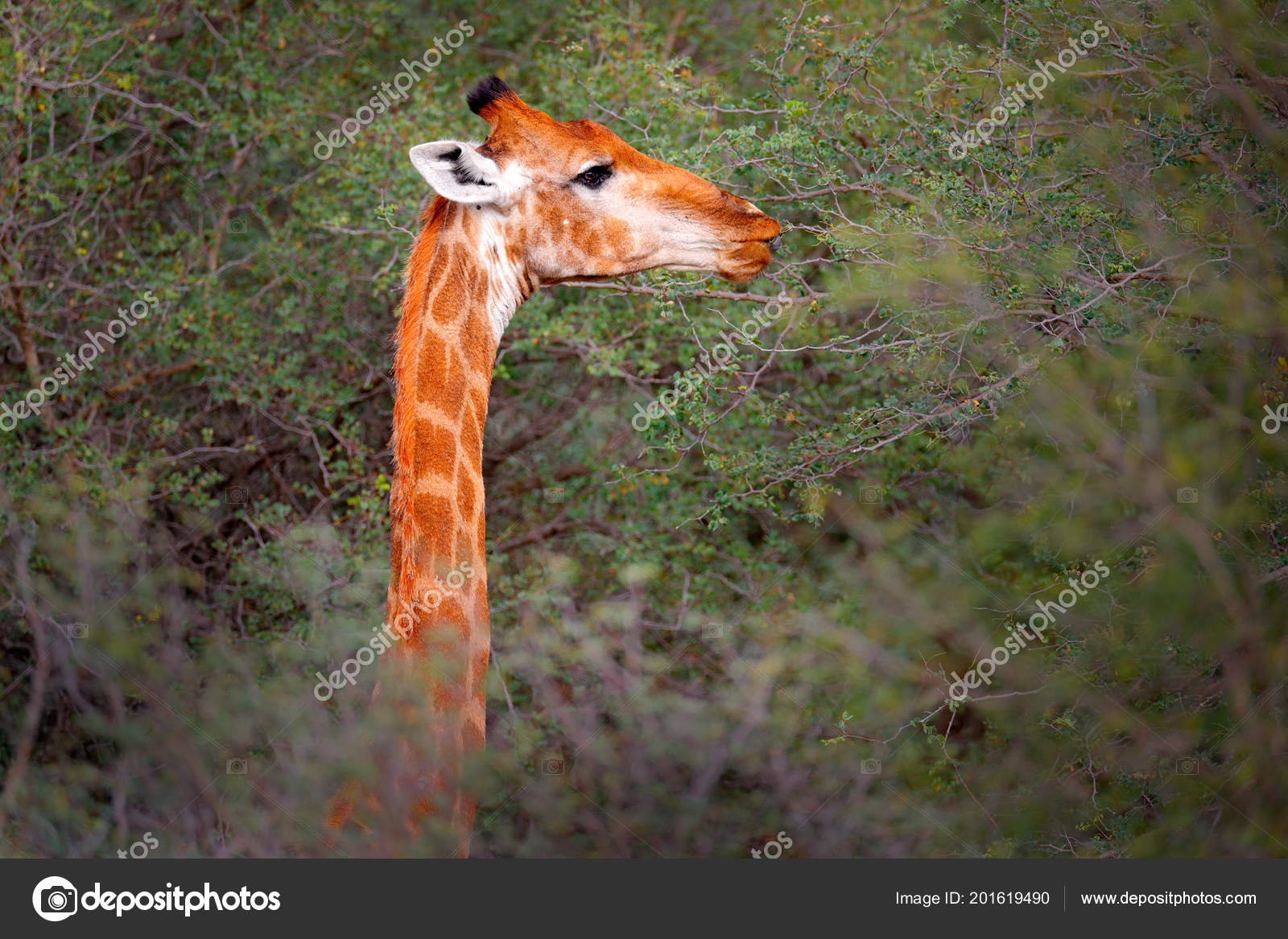Portrait Giraffe Hidden Green Trees Forest Vegetation Big Animal