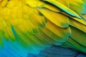 Fotografie Close-up detail papoušek peří. Zelený papoušek velký-zelený ARA, Ara Ambigui, detail ptačí křídlo divoké přírody v Kostarice. Zelené, žluté a modré peří